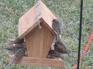 House Sparrows on Bird Feeder