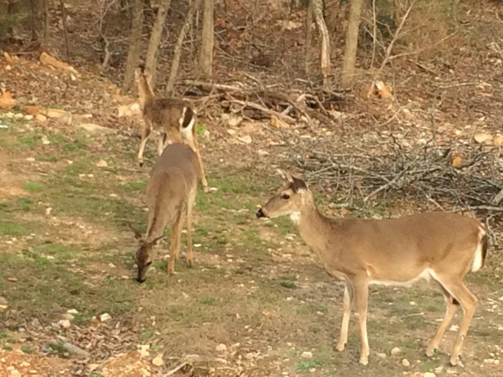 deer-in-front