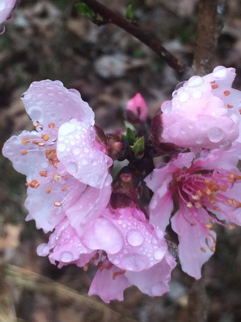 peach-bloom