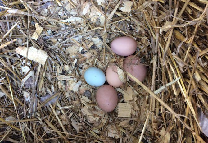 blue-egg